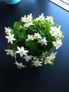 Hvitveis Garden, Flowers, Plants, Garten, Lawn And Garden, Gardens, Plant, Gardening, Royal Icing Flowers