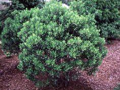 Shamrock Inkberry Holly |  Common Name: Shamrock Inkberry Holly Botanical Name: Ilex glabra 'Shamrock' Nativity: North America Hardiness Zone: 5A-10A Type: evergreen shrub Size: 3′-4′ tall x 36″-4′ wide  Boston Tropical Tree