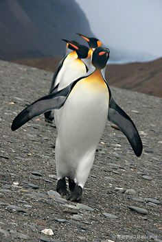 Penguin Parade: Photo by Photographer Marylou Badeaux