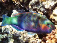 i am a parrot, no, i'm a fish, no, a parrot, okay, a parrot fish...