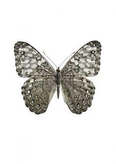 Fjärilar : LIljebergs. Hamadryas amphicloe