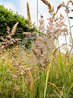 Close up of a variety summer meadow grasses found in the fields.  Left to grow…