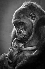 Gorilla Photos - New Mother Gorilla by Raúl González Fernández