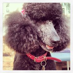 after a visit to the groomer #bellapoodle