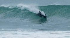 Orca! Stunning photo of a killer whale surfing some waves!