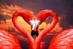 Have a heart flamingos