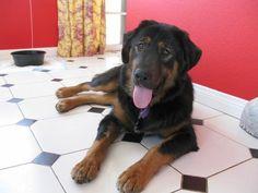 Tibetan Mastiff Rescue, Inc. - Tashi's Rescue Success Story - Click on Pic