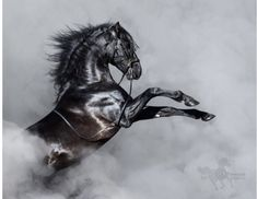 Black Andalusian horse rearing in smoke. / Black Andalusian horse rearing in smoke. Horse Rearing, Andalusian Horse, Appaloosa Horses, Friesian Horse, Arabian Horses, Pale Horse, Black Horses, Gray Horse, Jesus Second Coming