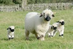 Billedresultat for valais blacknose sheep
