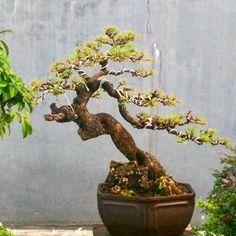 Hasil gambar untuk casuarina bonsai