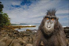 "Greetings from ""Black Monkey or in bahasa called Yaki"" find him in Tangkoko National Park - Manado."