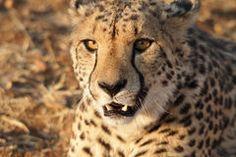 Très plan rapproché de guépard Photos libres de droits