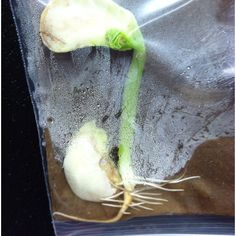 Science lesson: put bean plant seeds in wet plastic bags. Shows germination. Science Ideas, Science Lessons, Science For Kids, Life Science, Plant Experiments, Plant Science, Summer School, School Fun, School Ideas