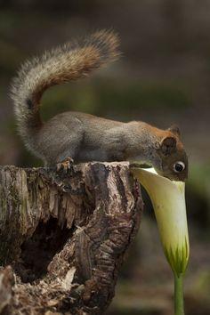 squirrel  calla lily
