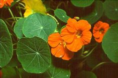 Nasturtium, the prolific flower with spicy edible leaves Easy To Grow Flowers, Growing Flowers, Edible Flowers, Colorful Flowers, Cress, Container Gardening, Flower Gardening, Health Benefits, Plant Leaves