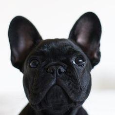 Batpig & Me Tumble It-Batpig & Me Tumble It Baby me by nelliethepiglet - Cute French Bulldog, French Bulldog Puppies, Cute Dogs And Puppies, French Bulldogs, Cãezinhos Bulldog, French Dogs, Bullen, Cute Baby Animals, Dog Mom