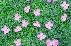 Dianthus gratianopolitanus Sternkissen Drought tolerant