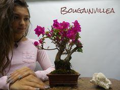 Beautiful Bonsai Trees for sale at the worlds largest Bonsai Superstore. Bonsai Trees For Sale, Indoor Bonsai Tree, Garden Terrarium, Bonsai Garden, Bougainvillea Bonsai, Wonder Art, Diy Painting, Wonders Of The World