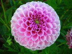 Fotos de Dalia pompon             Imágenes de la flor dalia pompom