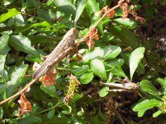 Græshopper i haven