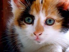 Reba My Calico Kitten <3