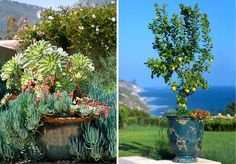 Award-winning landscape designer Margie Grace, owner of Grace Design Associates, a landscape design firm in Santa Barbara, says this is the perfect time to spruce up your garden with easy-to-maintain container gardens. Architectural Plants, Architectural Elements, Container Plants, Container Gardening, Drought Tolerant Landscape, Succulents, Succulent Arrangements, The Great Outdoors, Bonsai