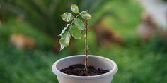 Ο πολλαπλασιασμός της τριανταφυλλιάς Incense, Home And Garden, Tableware, Flowers, Plants, Gardening, Decoration, House, Art