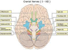 12 pairs of cranial nerve