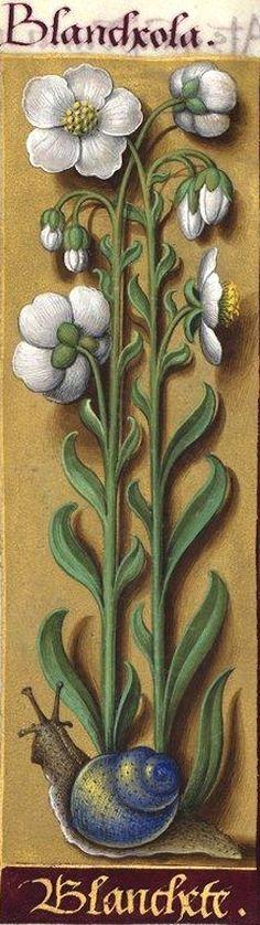 Blanchete - Blancheola (Helianthemum pulverulentum DC. = hélianthème à feuilles grisâtres) -- Grandes Heures d'Anne de Bretagne, BNF, Ms Latin 9474, 1503-1508, f°130v