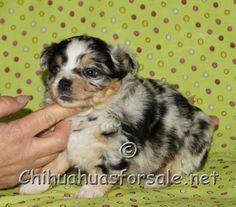 Malachy at 5 weeks long coat blue merle chihuahua