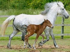 Eriskay pony - They are considered a very pleasing type of horse and also quite strong. They can be used for harness work, riding, and are the ideal breed for little ones to learn how to ride. This style of horse can be found in Scotland, Ireland, United Kingdom, Wales, and the northern parts of France.
