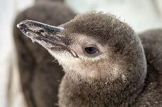 Magellanic Penguin chick at The Aquarium of the Pacific.