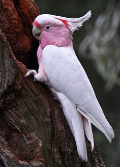 Major Mitchell Cockatoo (Lophochroa leadbeateri) Australia