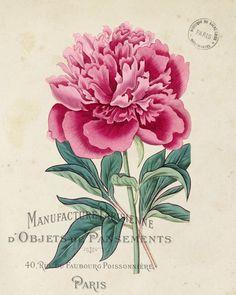 Vintage French Peony No.1 Botanical Print - Canvas Art Print