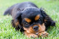 English Toy Spaniel--- I think i want one of these guys... SO CUTE <3