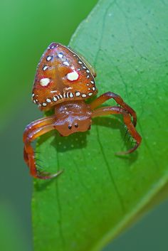 Arkys Lancearius, known as the Triangular Spider  by ross_coupland