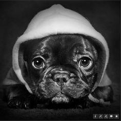 Thuggy Frenchie! Gorgeous photo