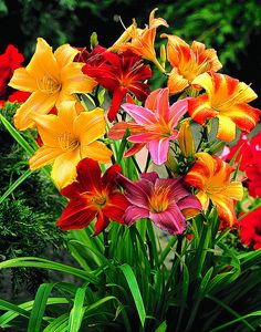 Dwarf daylilies for the front garden (perennial) - Budget Gardening Bright Flowers, Exotic Flowers, Beautiful Flowers, Beautiful Gorgeous, Purple Flowers, Flowers Perennials, Planting Flowers, Flowers Garden, Olive Garden