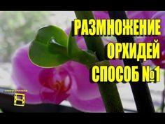 """Размножение (уход) орхидеи фаленопсис с помощью цитокининовой пасты в домашних условиях. Орхидея домашняя успешно размножается данным способом. Канал """"Хобби ..."""
