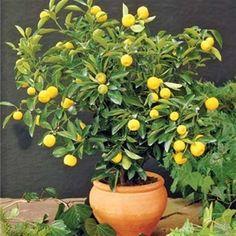 for our kitchen, Lemon Tree, Dwarf