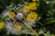 Taraxacum officinale (Löwenzahn) aufgeblüht   Flickr - Photo Sharing! Taraxacum Officinale, Photography Photos, Dandelion, Flowers, Plants, Flora, Royal Icing Flowers, Dandelions, Floral