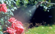 Our gardening agony aunt answers your questions. This week: prevents black spot and infected roses and a sprouting fuchsia
