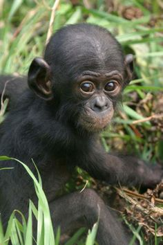 Baby Bonobo playing in the grass.  -  Photo Credit: Craig Sholley