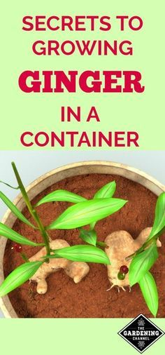How to grow ginger in a container #Vegetablegardenbasics