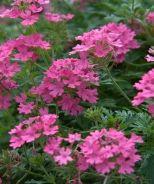 Georgia's Pink Verbena (Verbena 'Georgia's Pink')