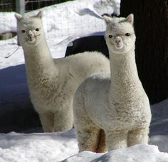 Alpacas! My favorite animal besides dogs and cats!