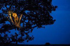 DESTELLOS: LEONES TREPADORES