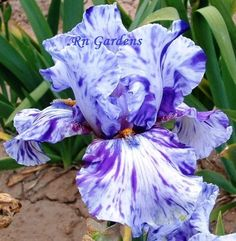 ELIANALOPE  Tall Bearded Iris  Dug cleaned & bleached by RNgardens