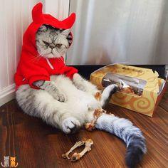 It seems Deviled Eggs Ate All the Chicken was the favorite of the four!  #exoticshorthair #cat #cute #flatface #kitten #meow #pet #mreggs #catlover #exoticsofinstagram #smushface #cutepetclub #weeklyfluff #publixchicken #publix #devil