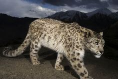 Today is International Snow Leopard Day! Photo by for Snow leopards are the ghosts… Animals Images, Animals And Pets, Animal Pictures, Wild Animals, Snow Leopard, Wild Life, National Geographic, Serval, Big Cats